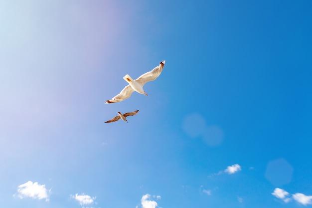 Gabbiani bianchi in bilico nel cielo. volo degli uccelli. gabbiano su sfondo blu cielo