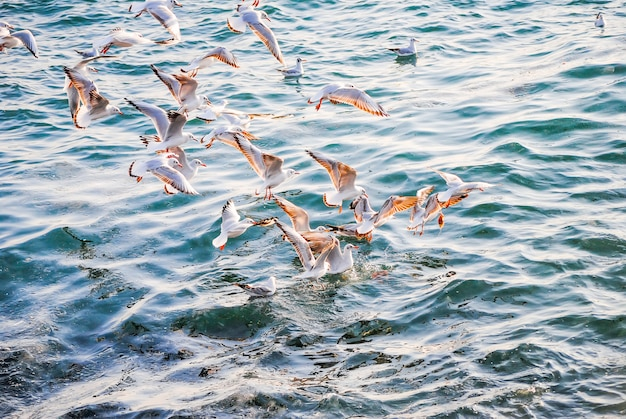 Gabbiani che pescano vicino alla riva del bosforo.