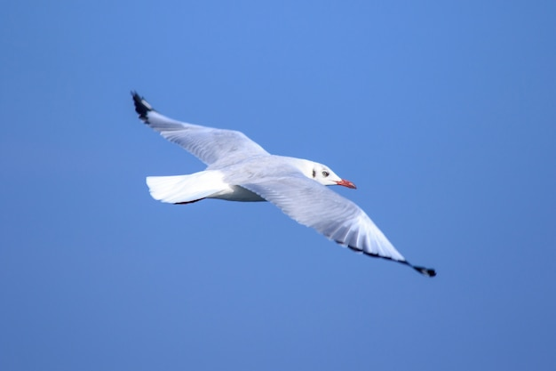 Gabbiani che volano nel cielo blu, i gabbiani sono gabbiani, i gabbiani sono uccelli di medie dimensioni. la punta delle piume delle ali è nera.