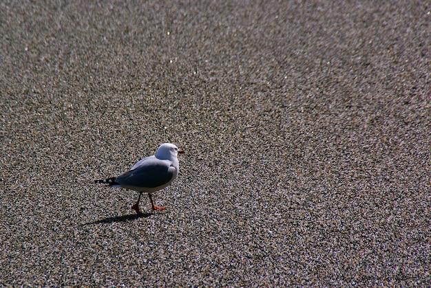 Gabbiani e sterne che volano vicino al mare e in cerca di cibo.