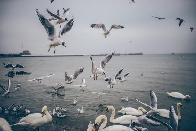 Gabbiani e swans