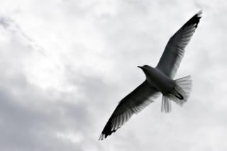 Gabbiano, ali, scivolano