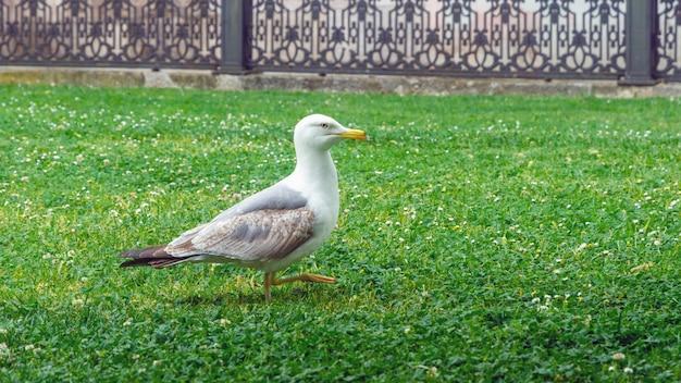 Gabbiano che cammina sull'erba nel parco di costantinopoli, turchia