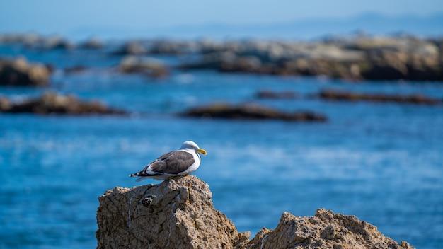 Gabbiano con la costa di otago in nuova zelanda