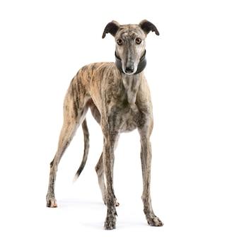 Galgo espanol con 2 anni. ritratto di cane isolato
