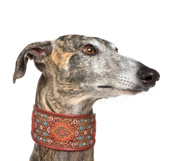 Galgo espanol con 4 anni. ritratto di cane isolato