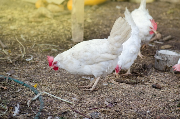 Gallina in campo fattoria biologica. fattoria natura all'aperto. gallina bianca in un cortile. pollo ruspante in una fattoria.