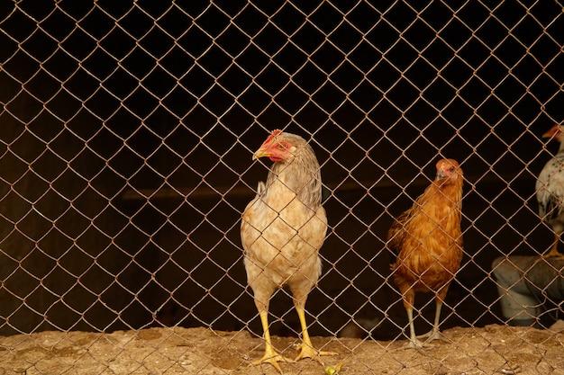 Galline di colore chiaro in un pollaio dietro le sbarre.