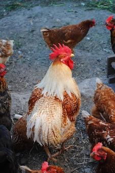 Gallo colorato a piedi nel pollaio