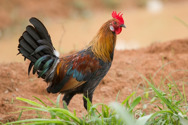 Gallo domestico o galletto nell'animale da allevamento