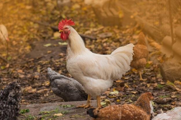 Gallo e galline stanno camminando fuori. polli ruspanti nel cortile su un prato giallo