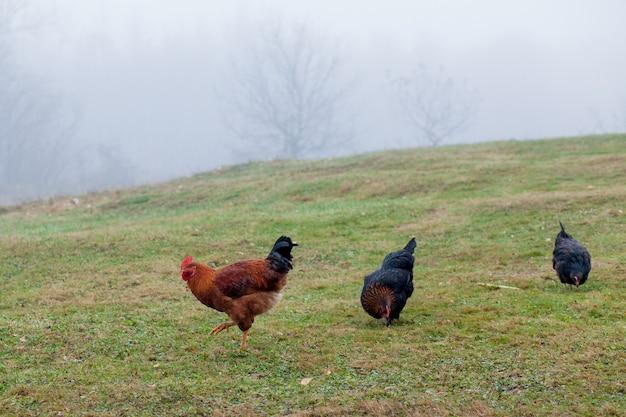 Gallo e polli al pascolo sull'erba