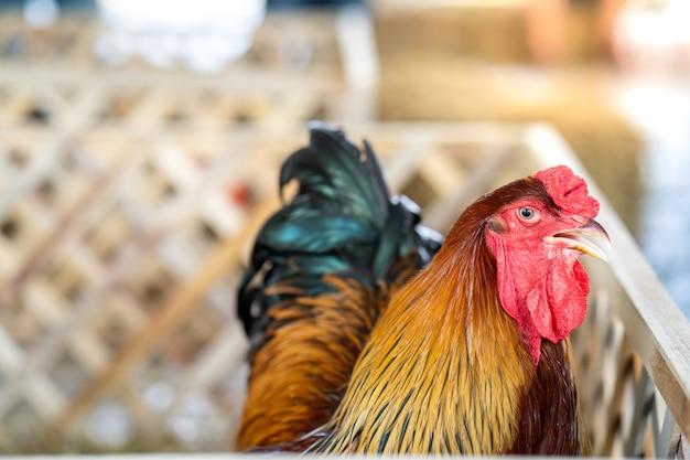 Gallo in gabbia di legno