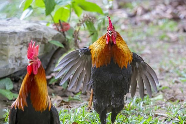 Gallo rosso e nero su erba verde