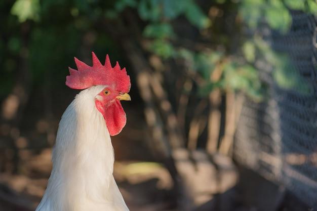 Gallo splendidamente piumato all'aperto, ritratto di un pollo maschio o gallo.