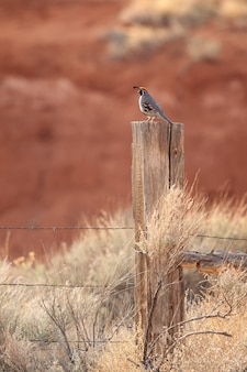 Gambel's quail on fence
