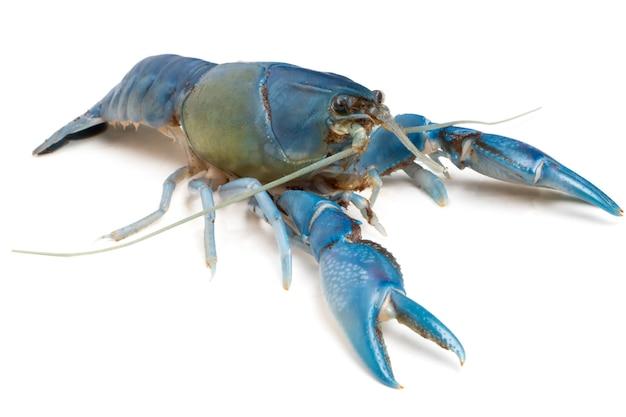 Gambero blu (distruttore di cherax) su fondo bianco.