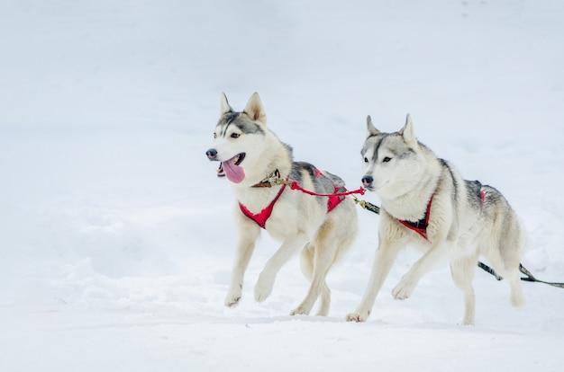 Gara di cani da slitta