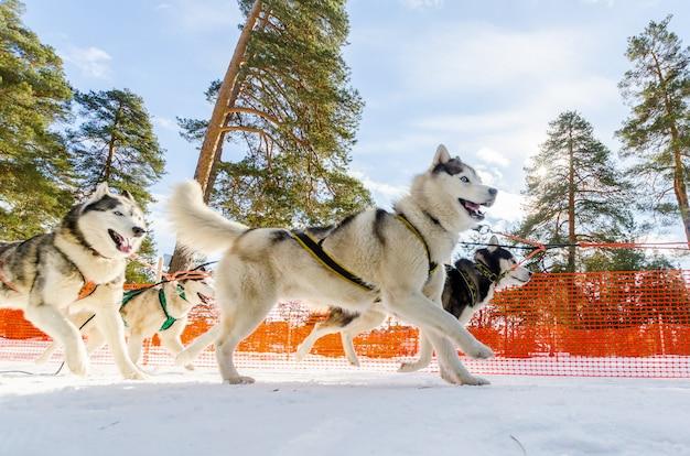 Gara di slitte trainate da cani