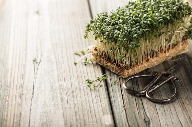 Garden cress, giovani piante.