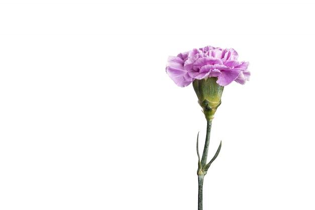 Garofano viola su sfondo bianco