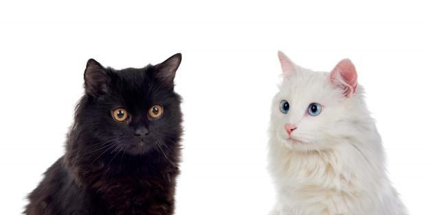 Gatti persiani in bianco e nero con gli occhi marroni e blu