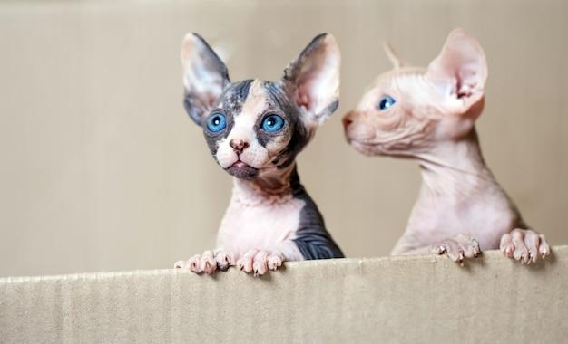 Gatti sfingi senza peli.