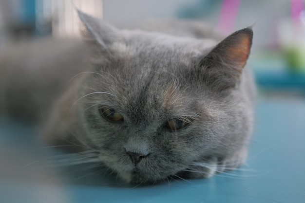 Gatti svegli in gatto café tailandia