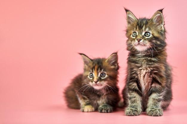 Gattini di guscio di testuggine di maine coon su fondo rosa