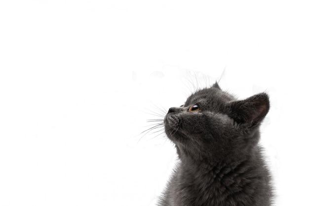Gattino britannico dello shorthair che osserva in su isolato su bianco