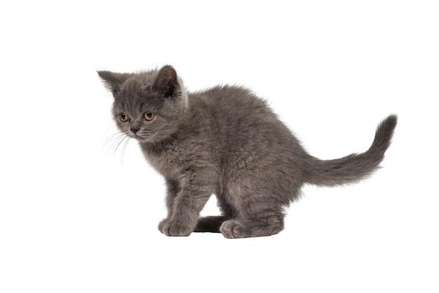 Gattino britannico dello shorthair che osserva in su isolato su priorità bassa bianca.