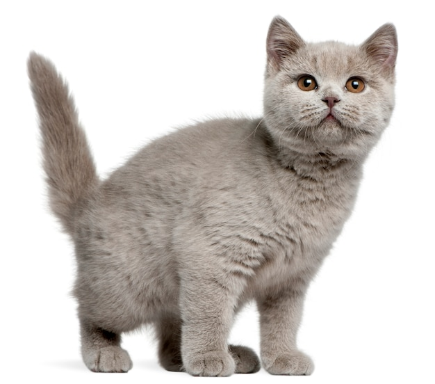 Gattino british shorthair, 3 mesi,