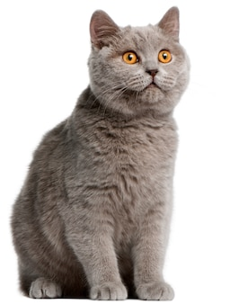 Gattino british shorthair, 5 mesi,
