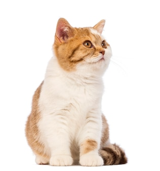 Gattino british shorthair, seduto e guardando lontano
