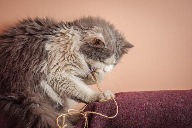 Gattino che gioca con il giocattolo, gatto giocoso che rosicchia o mangia filo