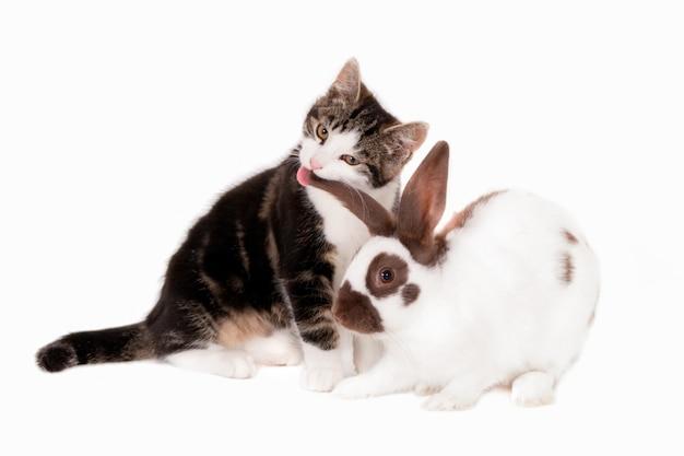 Gattino che lecca l'orecchio di un coniglio. isolato su bianco
