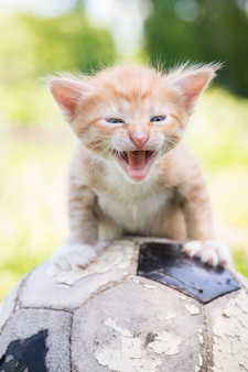 Gattino con un pallone da calcio