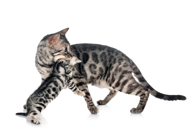 Gattino del bengala in bianco isolato