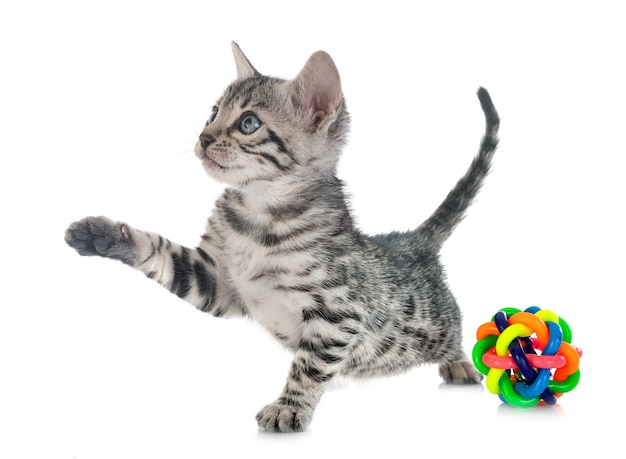 Gattino del bengala su bianco isolato