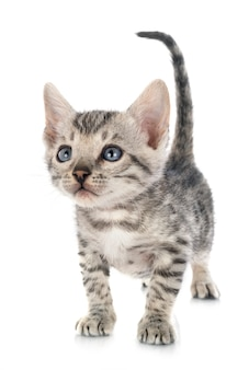 Gattino del bengala su fondo bianco