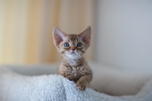 Gattino del devon rex che si siede su un materasso bianco