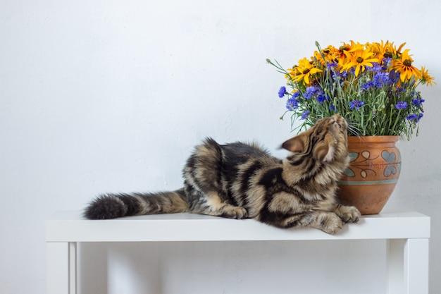 Gattino del maine coon che si siede su una console bianca accanto ad un vaso con i fiori arancioni e blu contro una parete bianca