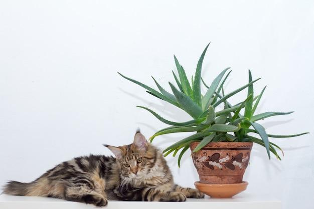 Gattino del maine coon che si siede su una console bianca accanto ad un vaso di argilla dell'aloe contro una parete bianca