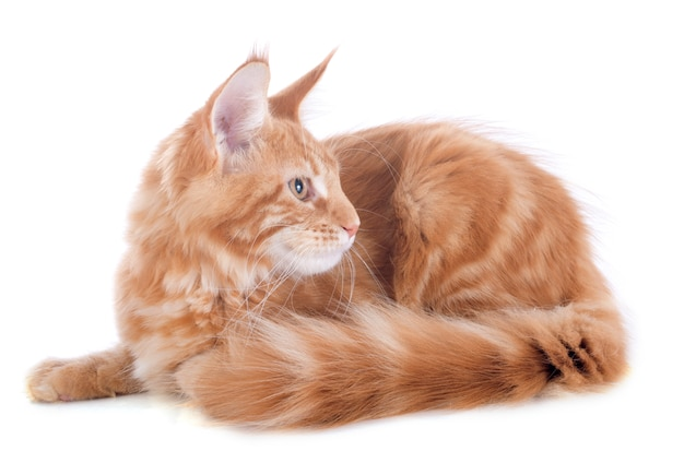 Gattino di maine coon