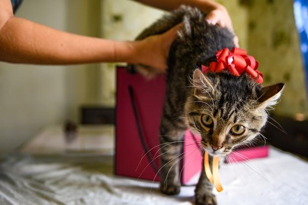Gattino divertente in regalo rosa. le mani femminili tengono una confezione regalo in cui un gattino si siede con un fiocco rosso. accettare il concetto di doni