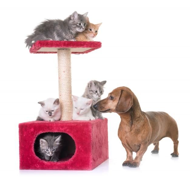 Gattino e bassotto