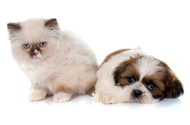 Gattino e cucciolo longhair britannico