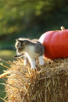 Gattino e zucca grigi su una paglia