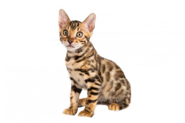 Gattino isolato del bengala che si siede sul fondo bianco