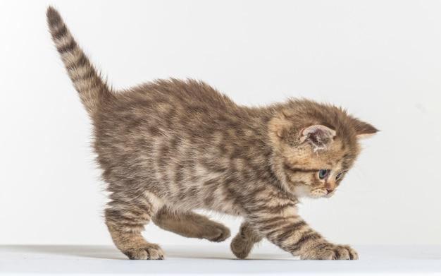 Gattino pelo lungo britannico